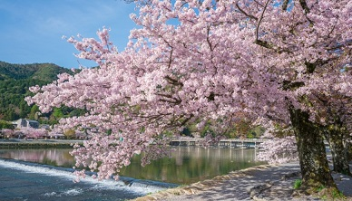 <2020>Kyoto's Cherry-blossom spot in kyoto,8 select!