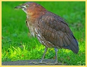 ミゾゴイ(絶滅危惧種)とはどんな鳥?生息地や鳴き声を紹介!